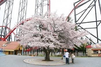 富士急ハイランド桜